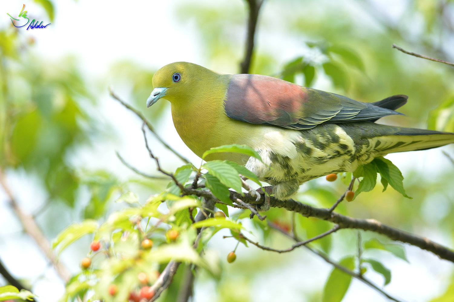 White-bellied_Green_Pigeon_5933