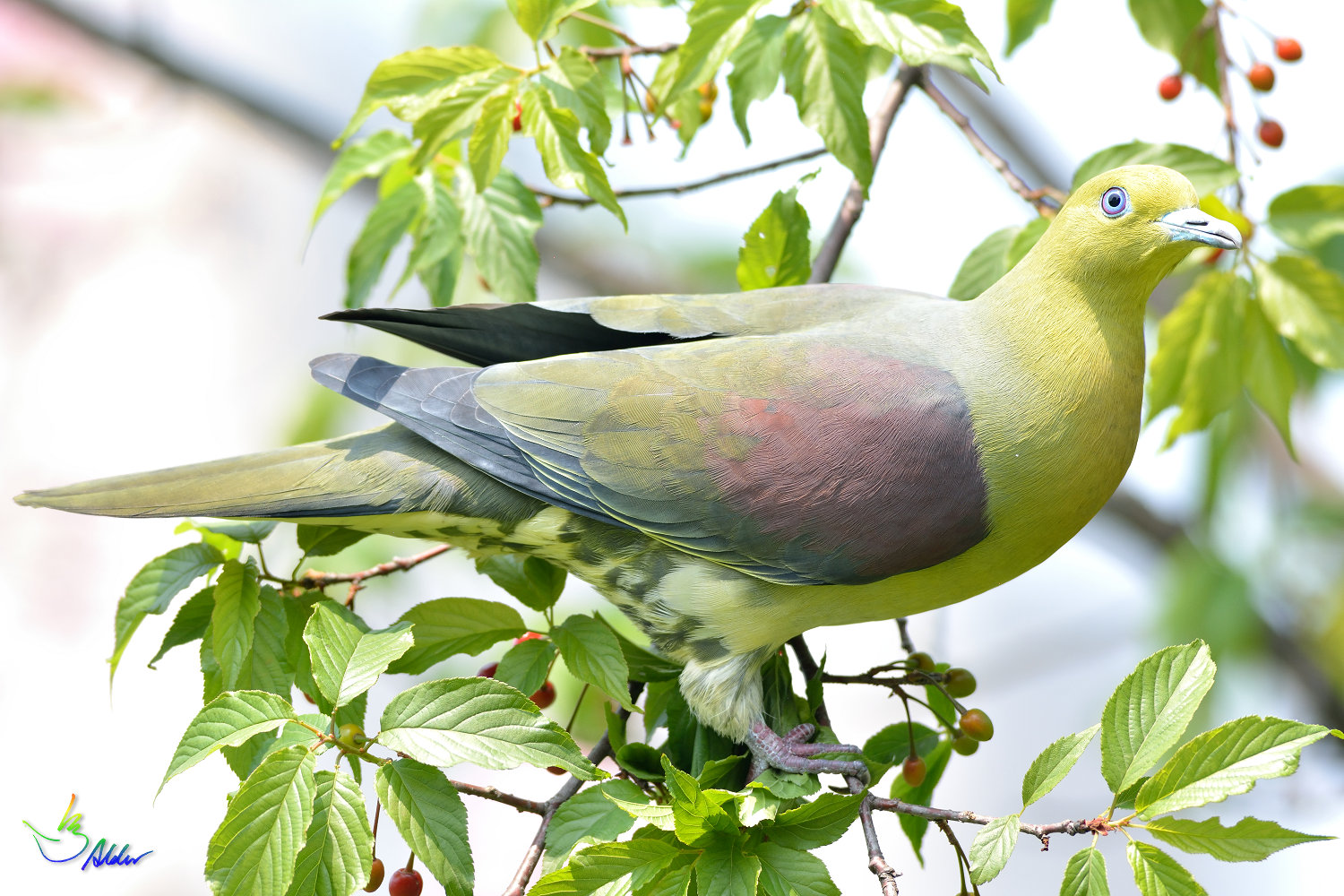 White-bellied_Green_Pigeon_6002