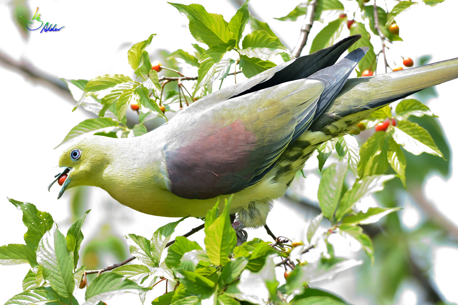 White-bellied_Green_Pigeon_6034
