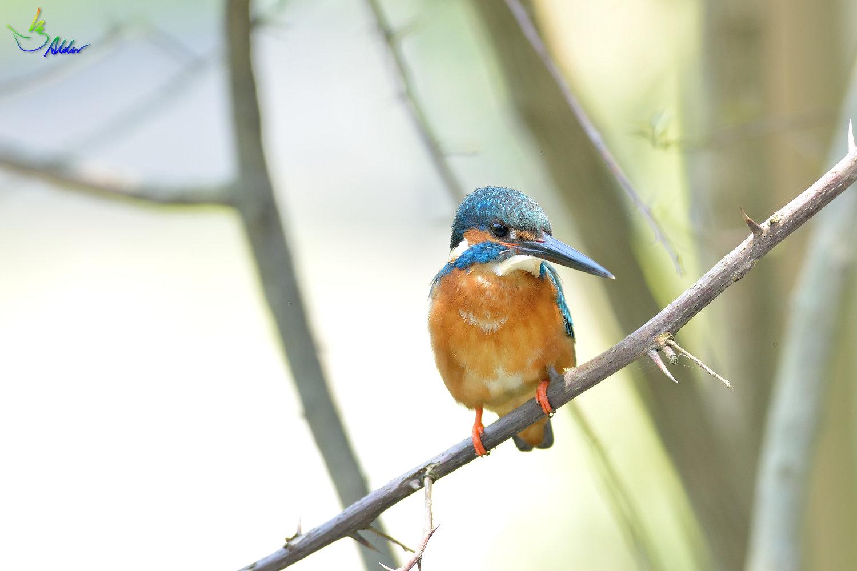 Common_Kingfisher_2773