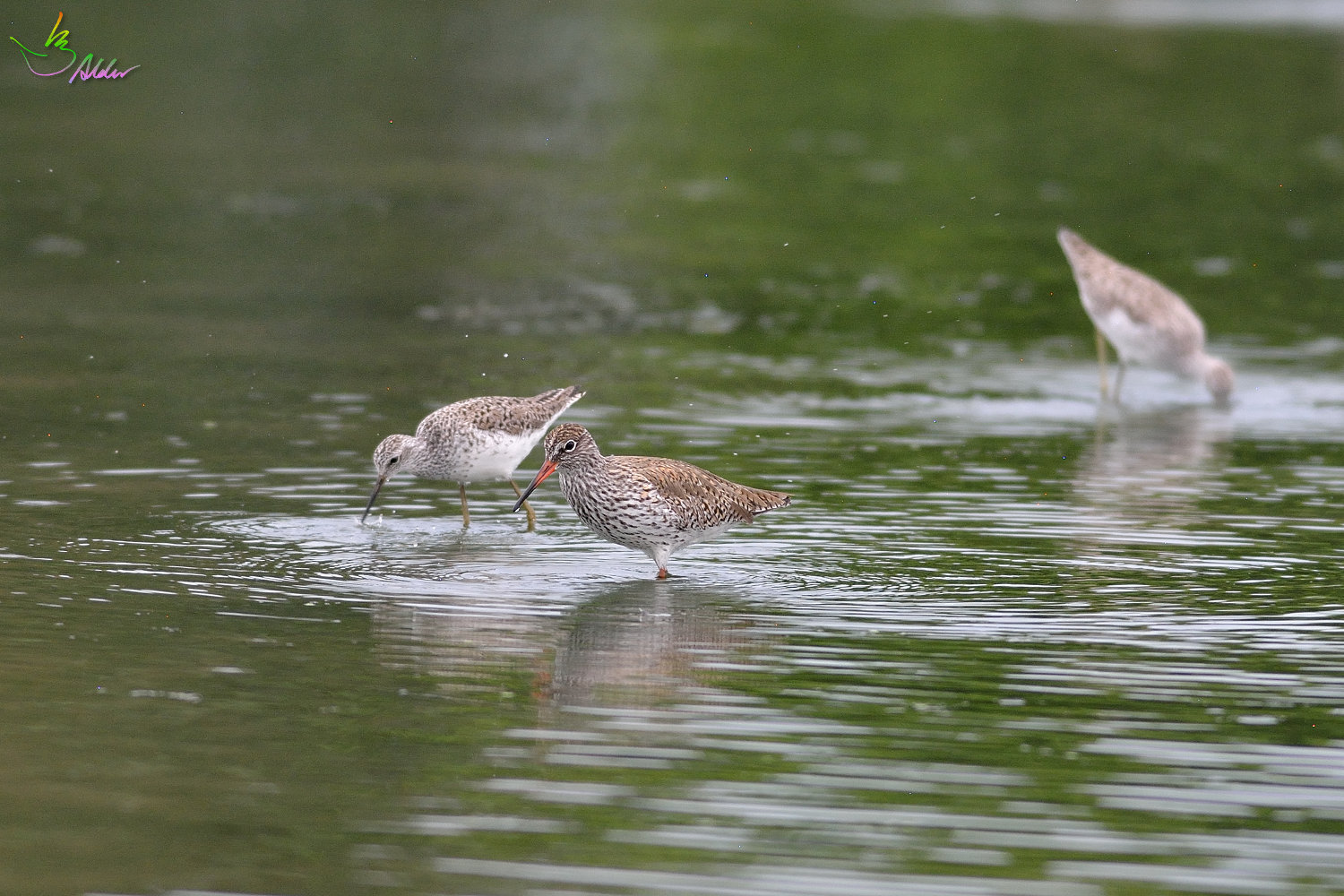 Common_Redshank_3166