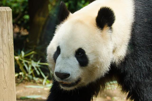 Giant Panda, Ri Ri of Ueno Zoo : ジャイアントパンダのリー・リー
