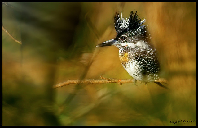 The Crested Fisher King !!