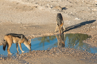 Black-backed Jackal (Schabrackenschakale)  im Etosha Nationalpark