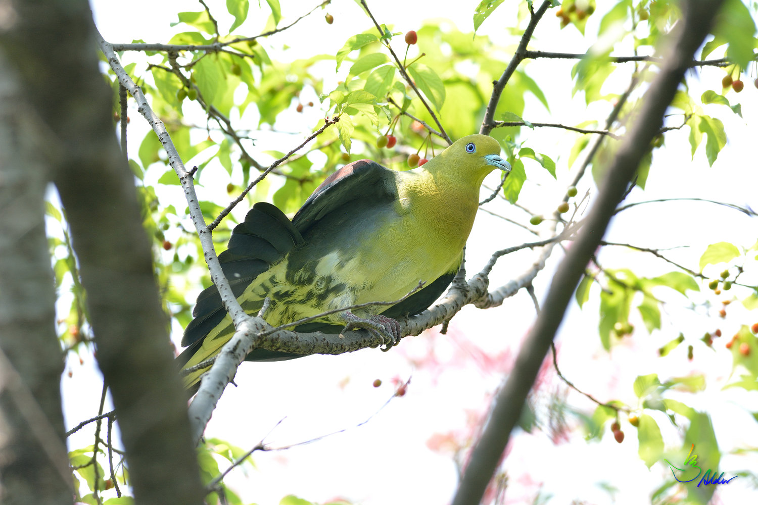 White-bellied_Green_Pigeon_5722
