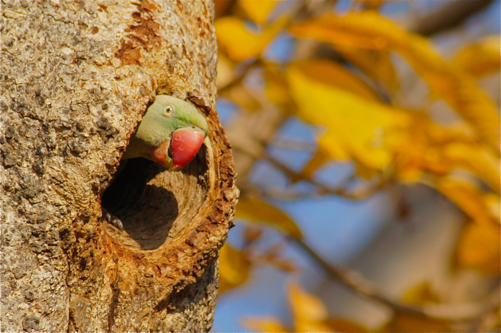 Alexandrine Parakeet, Pench Tiger Reserve, India