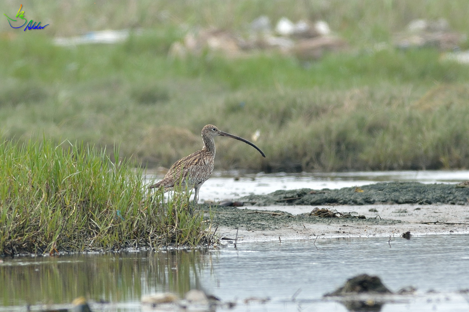 Far_Eastern_Curlew_2310