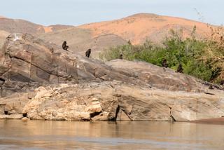 Baboons am Kunene River