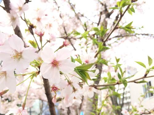 さくら桜 2016.4.1
