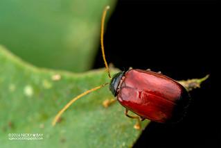 Leaf beetle (Ochralea nigripes) - DSC_6094