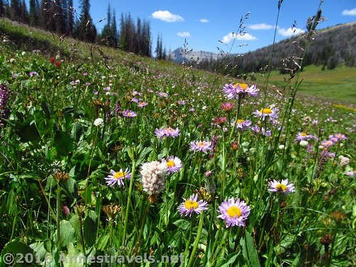 Wildflowers in Bonneville Pass, Wyoming