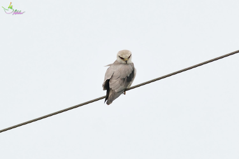 Black-shouldered_Kite_3815