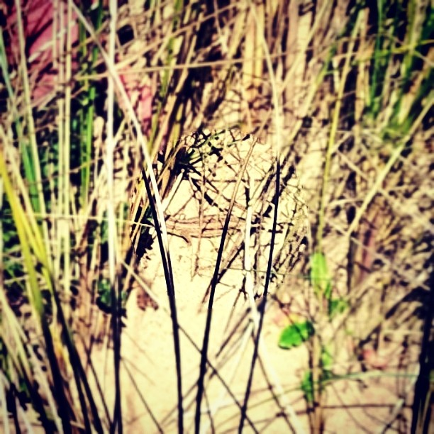 Saw my first #SandLizard in the wild today. #WellChuffed