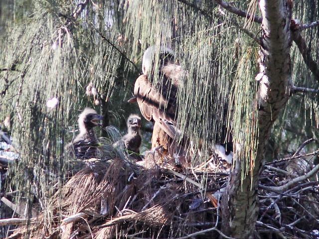 Bald Eagle 2 eaglets 20160407