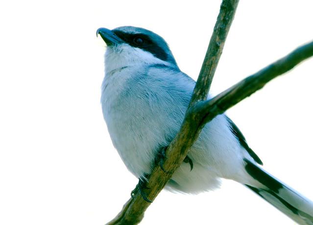 San Clemente Loggerhead Shrike (Lanius ludovicianus mearnsi)_6