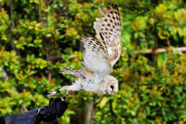 Male Barn Owl, Daikichi and Take-off! : メンフクロウの大吉テイクオフ!