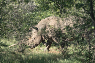 Weißes Rhino im Ongava Game Reserve