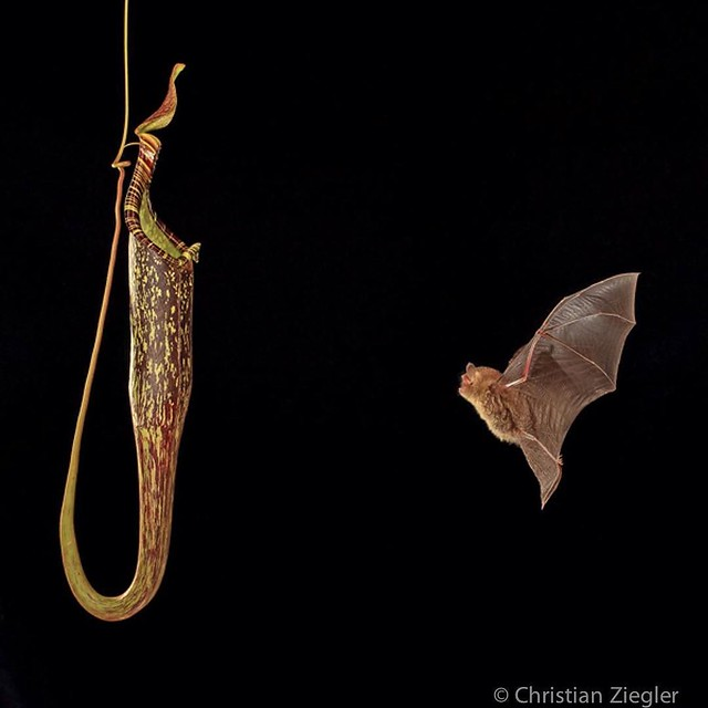 Photo by @christianziegler Hardwicke's Woolly Bat (Kerivoula hardwickii hardwickii) is a bat which uses the pitchers of Nepenthes hemsleyana as a day roost. Being protected from rain and predators is important for bats. In this mutualistic relationship, t