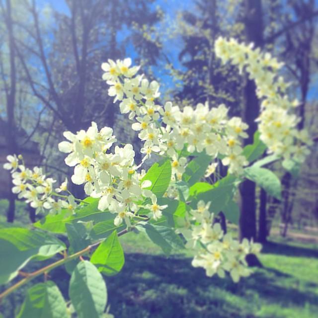 #spring #birdcherrytree #nature #tree #naturelovers #petal #petals #bloom #blooms #стрийськийпарк #flower #flowers #springflowers #lviv #ukraine
