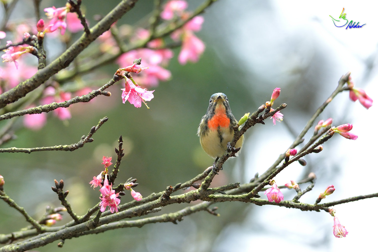 Fire-breasted_Flowerpecker_1707