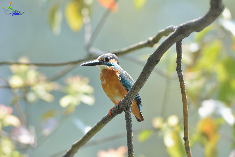 Common_Kingfisher_2761