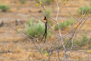 Long-tailed Paradise Whydah (Spitzschwanz-Paradieswitwe (Vidua paradisaea) aus der Familie der Witwenvögel)