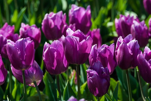 Group of Purple Tulips