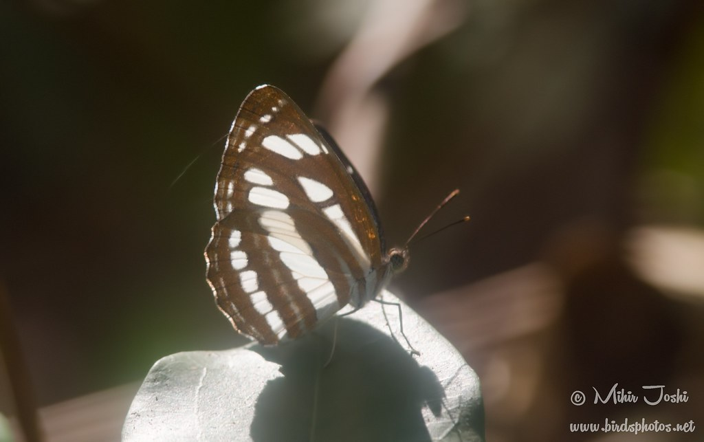 Common Sailer(Neptis hylas)