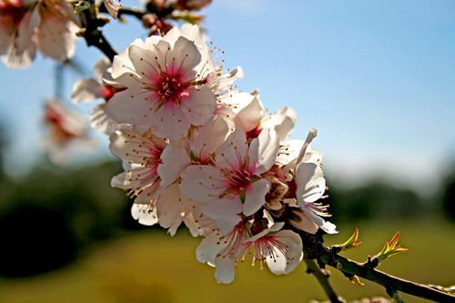 Almond flowers | by Fr Antunes