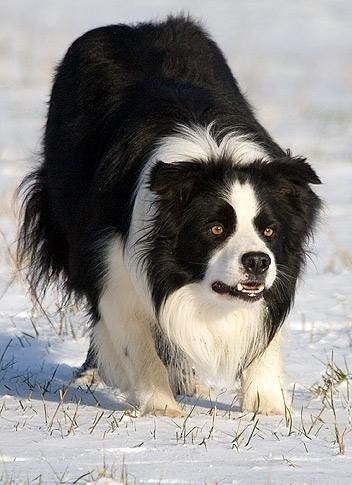 Border Collie at work | by jonsson.anna