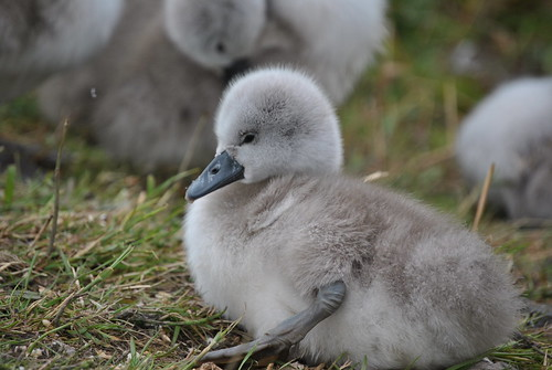 CYGNET 2 | by DEGSY P. (D.Phillips Photography)