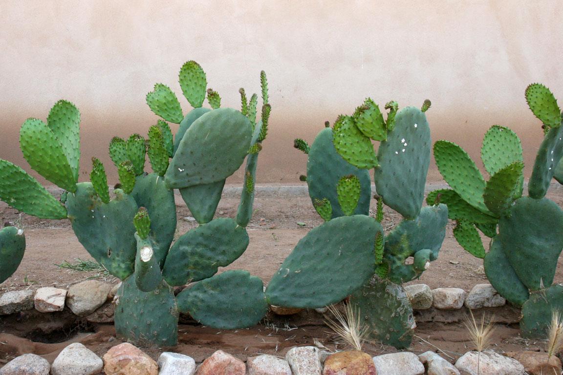 Sonoran nopal cactus