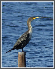 Double-crested Cormorant | by byard