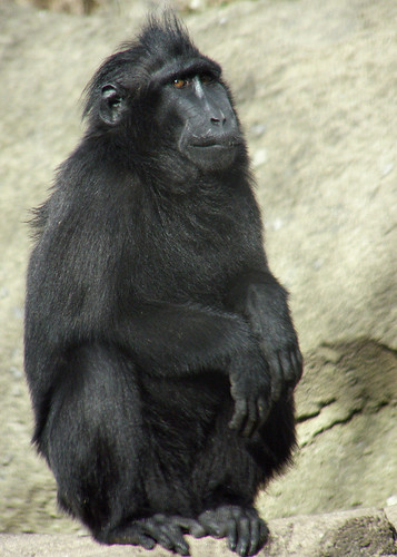 Celebes Crested or Crested Black Macaque | by CharlesSF