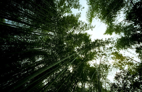 bamboo forest | by troutfactory