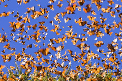 Monarchs in motion | by farflungphotos