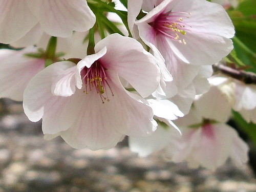 Sakura | by Blue Lotus