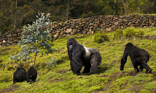 Rwanda Mountain Gorillas _DSC14529 | by youngrobv