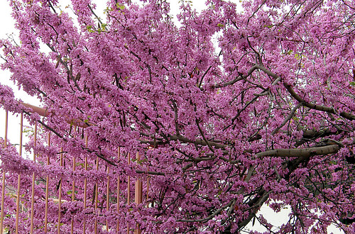 Cercis Siliquastrum,Judas tree,כליל ה חורש | by maxnathans
