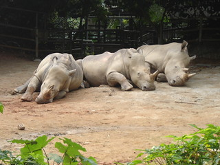 Sleeping Rhinos | by the grey sky morning