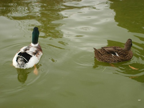 dos patos | by grapitix