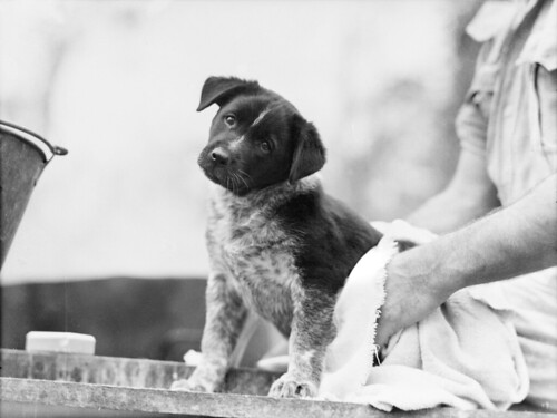 The mascot pup after a bath 1943 | by Australian War Memorial collection