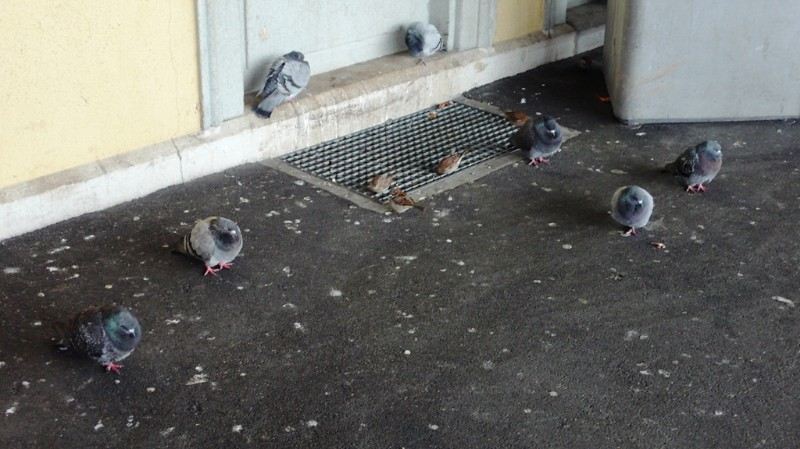 Pigeons and Sparrows at Solothurn Main Station