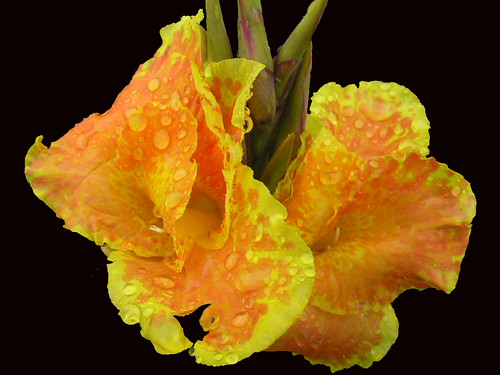 Yellow-And-Orange Cannas On Black 001 | by Chrisser