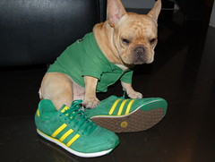French Bulldog Wasabi in Adidas | by solutionsoap