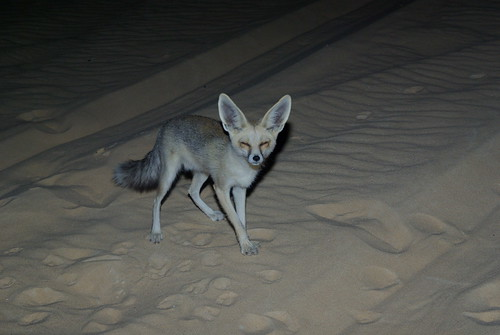 Desert fox | by EGraf