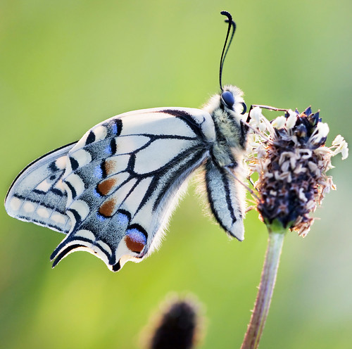 Papilio machaon | by giuseppedr