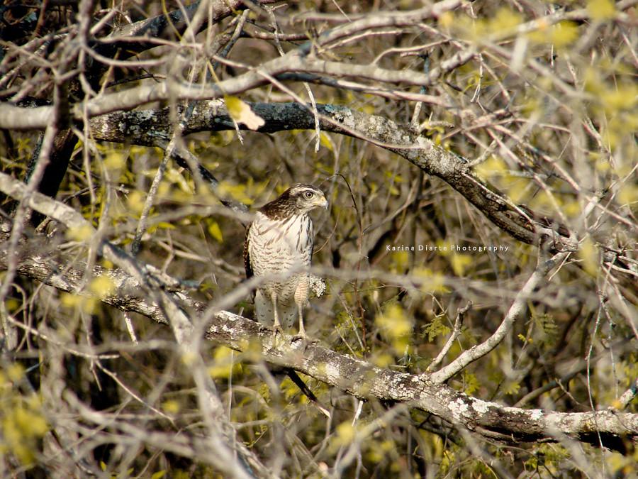 Taguató - Roadside Hawk