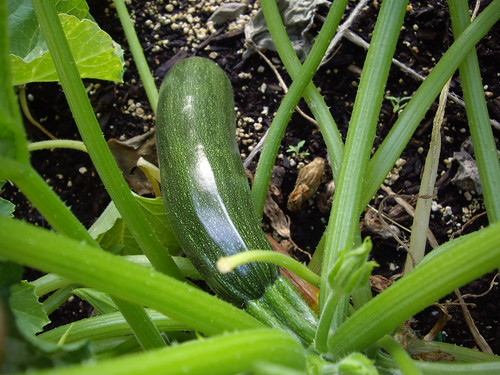 Zucchini from My Garden July 2009 | by swampkitty