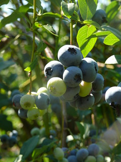 Organic blueberries | by Cascadian Farm